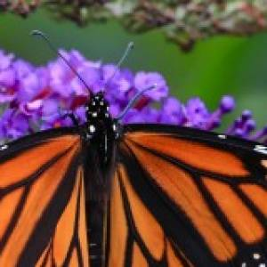 Group logo of Nature Talk: Monarch Butterflies